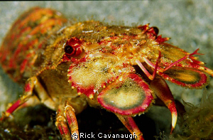 slipper lobster on a night dive.  Fuji Velvia Film by Rick Cavanaugh 